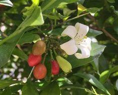 Murraya paniculata - fragrant cream flowers and red berries Murraya Paniculata, Cream Flowers, Red Berries, Planting, Thailand, Strawberry, Fruit, Plants, The Fruit