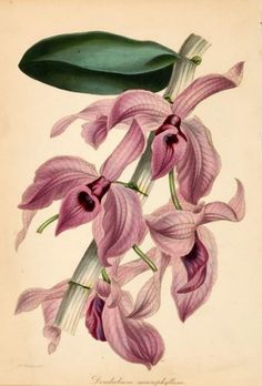 S. Holden Dendobium Macrophyllum (Orchid) (Dendobium Macrophyllum) Original hand-coloured engraving for Sir Joseph Paxton's 'Magazine of Botany', London 1834-46