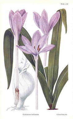 Botanical Print - Crocus  (1948, Curtis's Botanical Magazine)