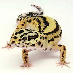 Leopard geckos :)