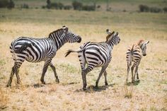 Zebra family by Andrey Naumov on 500px