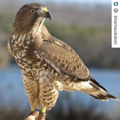 #Repost @bhamaudubon with @repostapp.  #redshoulderedhawk by the  @callawaygardens Birds of Prey Program. JOIN US! This Sunday January 24 2016 at 1pm and 3pm Audubon Teaches Nature: Birds of Prey Masters of the Sky. Co-sponsored by the #BirminghamAudubon @alwildlifecenter @oakmountain_interpretivecenter and Friends of Oak Mountain  Birds of prey are truly masters of the sky. They have keen eyesight sharp talons and are adept hunters of both birds and animals and fortunately for us #Alabama…