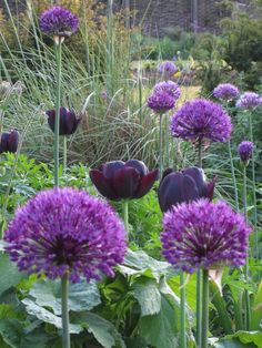 alliums and dark purple tulips