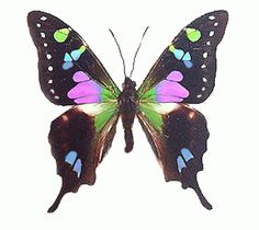Common Map Buterfly