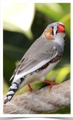 A little evaluation will certainly divulge that finches can be found in a broad diversity of patterns, shades and also individualities. The Zebra Finch, the Gouldian Finch and the Culture Finch are probably the principal prevalent of the all the unlike selections.