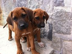 someday i'm gonna get me one of these cuties!! - Rodesian Ridgeback pups