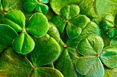 Patrick's Day is the biggest Irish holiday celebration. Check out the top 10 St Patrick's Day facts to learn more about this day. St Patrick's Day Trivia, Free Pictures, Free Images, Spring Images, St Patrick Day Shirts, Irish Eyes, Luck Of The Irish, Irish Luck, Ireland Travel