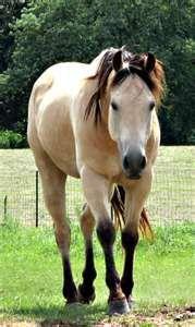 Buckskin Horses. omg my favorite!!
