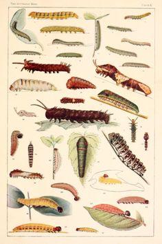 Plate II. Caterpillars.The butterfly book.1898.