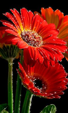 Red Gerberas for your love. Beautiful Flowers Images, Beautiful Flowers Garden, Beautiful Gif, Flower Images, Flower Pictures, Exotic Flowers, Amazing Flowers, Beautiful Roses, Rose Flower Wallpaper