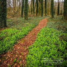 A path graciously invites visitors to pass among the ivy-laced sentinels standing guard in Coole Park, #Ireland, a favorite hangout of William Butler #Yeats. http://www.jamesatruett.com