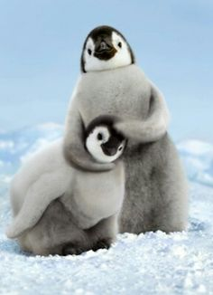 Our Emperor Penguin Chicks Birthday card makes for a cool and cuddly way to say Happy Birthday. The inside of this 4 x 6 card readsFeel the love! Cute Baby Animals, Animals And Pets, Funny Animals, Animals In Snow, Penguin Animals, Funniest Animals, Wild Animals, Beautiful Creatures, Animals Beautiful