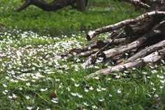 Wood anemone carpets the forest floor