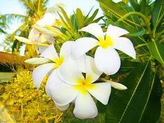 8/2(火)バリ島ウブドのお天気は晴れ。室内温度26.5℃、湿度69%。プルメリアが元気に咲く、爽やかな1日です。白いプルメリアって意外とバリは少ない!黄色やピンクが主流~