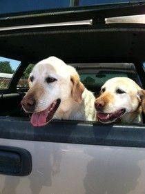 Cute Muttville mutt: Rocco And Mia (Labrador retrievers | Male/Female | Size: large) Adopt these pair together! http://www.muttville.org/how_to_adopt