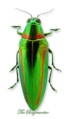 Buprestidae : Chrysochroa rajah thailandica
