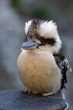 Kookaburra....the call they make sounds like the old 'oo ee oo ah ah' from the song ' The Witch Doctor.' And if you imitate their call they will answer you! Fun birds!