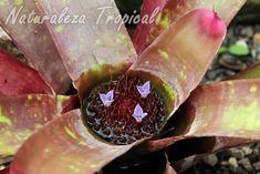 Floración típica de las plantas del género Neoregelia