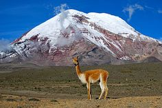 Vicuna, Chimborazo (volcano), Eduador.  The vicuña (Vicugna vicugna) or vicugna[2] is one of two wild South American camelids, along with the guanaco, which live in the high alpine areas of the Andes.