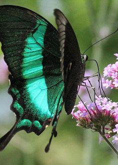 Pretty Peacock Butterfly by Rosanne Jordan