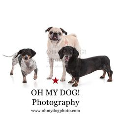 """""""The gang is ready! #ohmydogphotography #doxies #pugs #dogs #sandiegodog"""" Photo taken by @ohmydogphoto on Instagram, pinned via the InstaPin iOS App! http://www.instapinapp.com (02/20/2015)"""