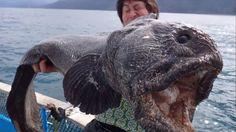 ¿Consecuencias de Fukushima? Un pescador japonés captura un pez gigantesco en la zona (FOTOS)