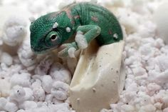 Chameleon Hatching, Photo by The Chameleon Farm