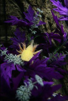 yellow mexican axolotl