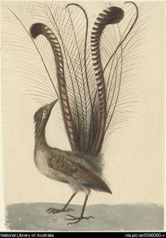 Lewin, J. (John William), [Lyrebird of Australia . Bird Illustration, Botanical Illustration, Tasmania, Zoo 2, Australia Pictures, Bird Drawings, Bird Prints, Woodblock Print, Natural History