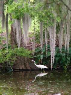 Audubon Park ~ New Orleans Lived nearby, beautiful park, love this pic of swamp in the city! Louisiana Swamp, Louisiana Art, New Orleans Louisiana, Beautiful Birds, Beautiful Places, Beautiful Park, Audubon Park, Crescent City, Photos