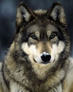 ''To look into the eyes of a wolf, is to see your soul...""