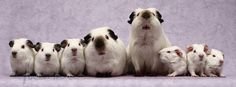 Piggy line up