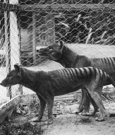 The Tasmanian Tiger or Thylacine was the largest carnivorous marsupial of modern times...it was hunted to extinction in 1936.