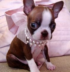 I miss my Boston Terrier. I got her at 7 weeks old - until she was 17 years old.