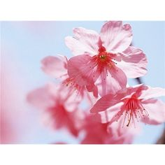 blossom background ❤ liked on Polyvore featuring backgrounds and pictures