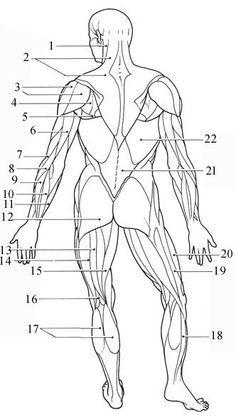 Human Muscle Coloring Key Biology Corner
