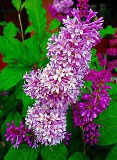 Winter Lilacs