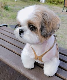 The traits we all love about the Smart Shih Tzu Puppies Source by The post The traits we all love about the Smart Shih Tzu Puppies appeared first on Daisy Dogs. Super Cute Puppies, Baby Animals Super Cute, Cute Baby Dogs, Cute Little Puppies, Cute Dogs And Puppies, Cute Little Animals, Cute Funny Animals, Cute Babies, Doggies