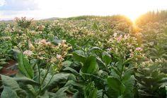 Plantas de tabaco podrían usarse para biocombustibles