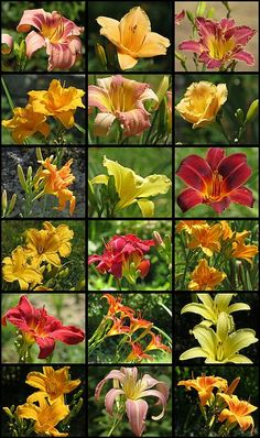 Late blooming daylilies at MTBobbins Daylilies, in Winchester, New Hampshire, make up this New England daylily mosaic.