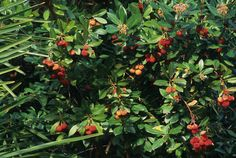 Compact Strawberry Tree (Arbutus unedo 'Compacta') is an evergreen shrub that looks good in all seasons.  I love it because it's related to our native Pacific Madrone -- but it's smaller & healthier!