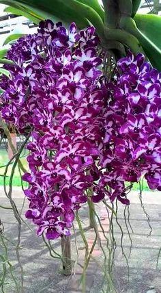 orchids for sale Rare Orchids, Rare Flowers, Exotic Flowers, Amazing Flowers, Purple Flowers, Beautiful Flowers, Unique Plants, Cool Plants, Planting Succulents