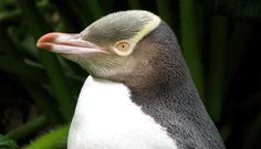 yellow eyed penguin - Google Search