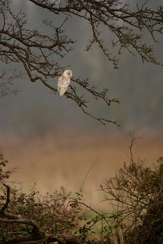lone owl