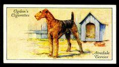 Airedale cigarette card. с.1933