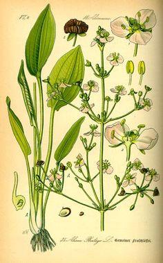 Risultati immagini per alisma plantago-aquatica