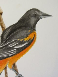 Baltimore Oriole Watercolor Painting OSWOA by KetturahsArt on Etsy, $20.00