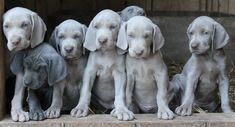 Shade of Grey Weimaraners - Home Page