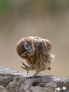 Little owl...dancing?