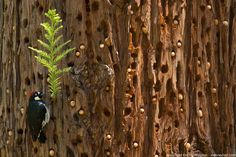 An acorn woodpecker tends to its granary, located in the trunk of a redwood tree in Big Sur, CA.